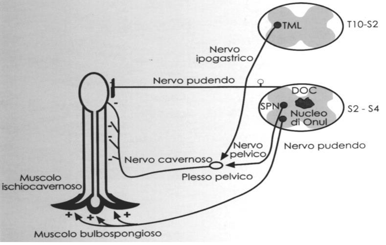 Fisiologia dell'erezione: tipologia, fasi, fattori neurovascolari