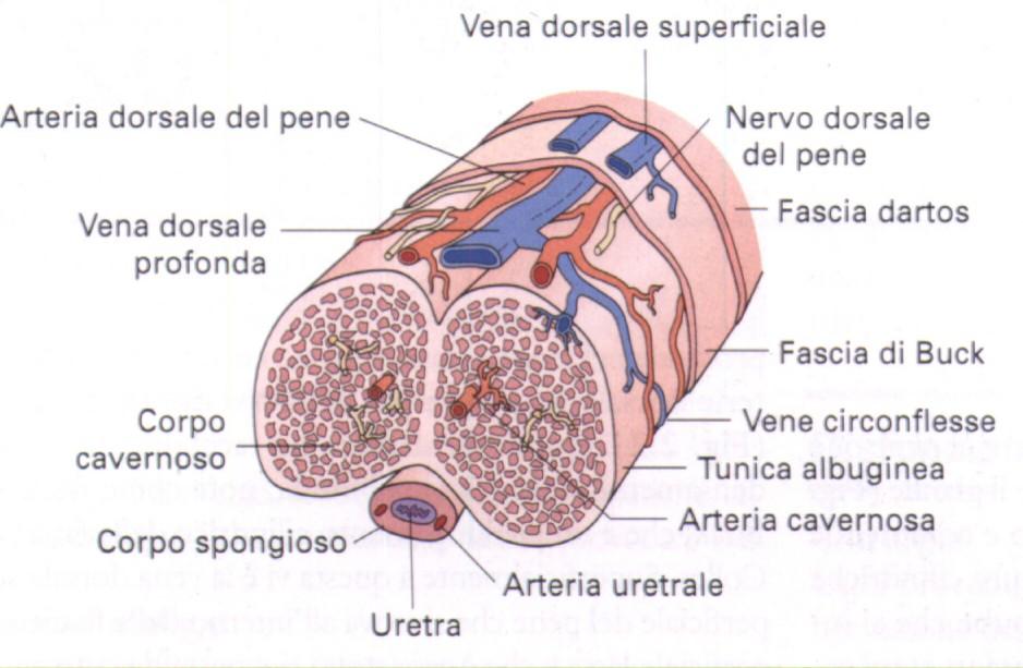 erezione dellorchiectomia
